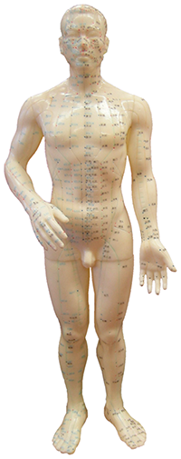 Model med akupunkturpunkter og meridianbaner